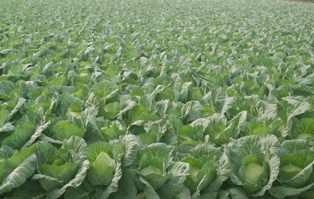 こばやし農園,埼玉県さいたま市,見沼野菜,価格,お取り寄せ,通販,販売店舗,人生の楽園